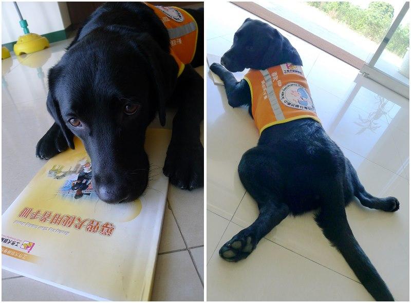 (臺彎第二隻導聾犬,Amber。圖片來源:培訓導聾犬 小Ber)