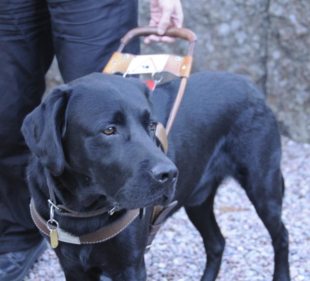 (導盲犬在工作的時候會帶上導盲鞍。圖片來源:smerikal)