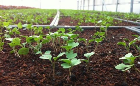 綠藤生機 新網室播種的第一批芝麻葉(照片來源:綠藤生機 Greenvines)