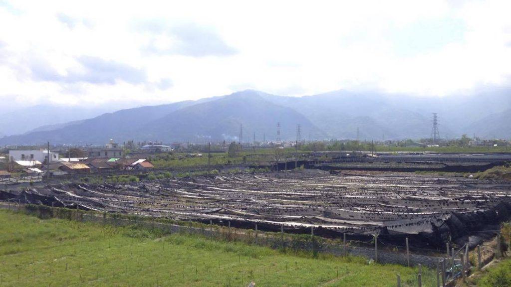 荖葉在臺東的種植方式,是以立柱讓荖葉盤爬其上生長,並用黑網保持半日照